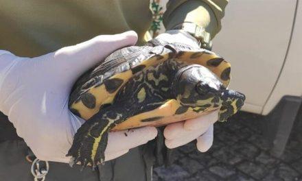 Tartaruga Exótica encontrada pela GNR em Arouca