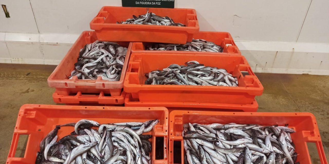 Nazaré – Apreensão de mais de 100 quilos de pescada subdimensionada