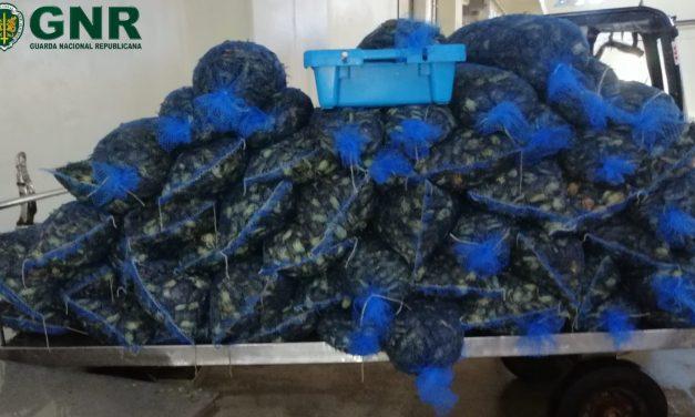 Aveiro – Apreensão de mais de 900 quilos de caranguejo-mouro subdimensionado